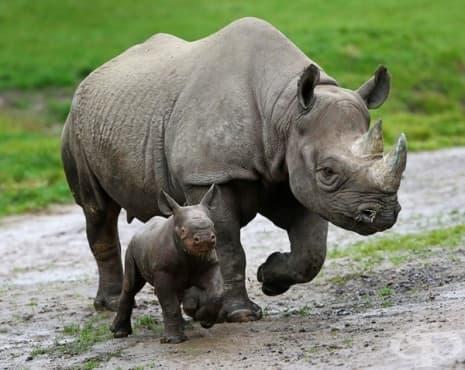 За да защити носорозите, национален парк стреля на месо - изображение