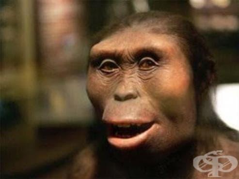 Ардипитекус кадабба (Ardipithecus kadabba) като част от човешката еволюция - изображение