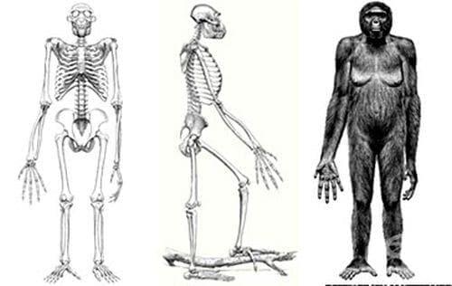 Арди: най-ранната представителка в родословното ни дърво? - изображение