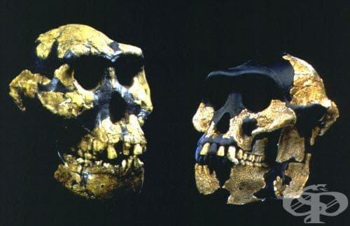 Australopithecus anamensis като част от австралопитеките - изображение