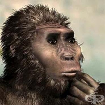 Australopithecus bahrelghazali като част от австралопитеките - изображение