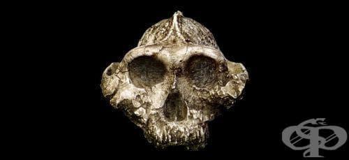 Paranthropus boisei като част от австралопитеките - изображение