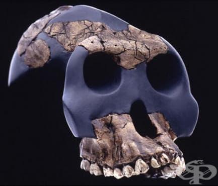 Australopithecus garhi като част от австралопитеките - изображение