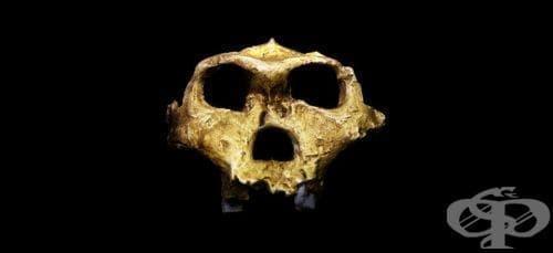 Australopithecus robustus като част от австралопитеките - изображение