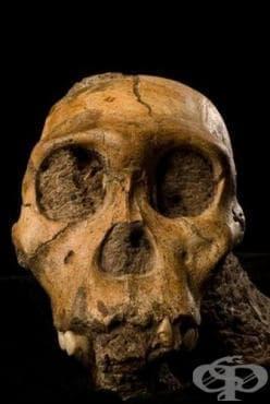 Australopithecus sediba: новооткрит представител на хоминидите - изображение