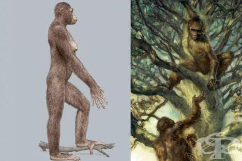 Австралопитекус африканус като част от човешката еволюция - изображение
