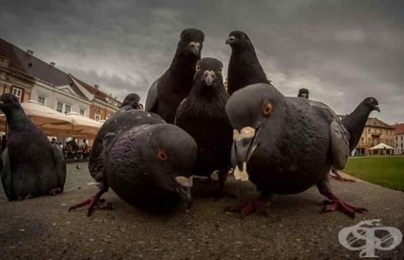 Гълъбите - от кралски вестители до напаст - изображение