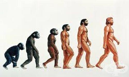 Черепи на хоминиди, разкриващи любопитни детайли от еволюцията на хората - изображение