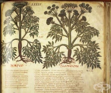 """Дакийски и тракийски лечебни растения, описани от Доискорид в """"De materia medica"""", 1 част - изображение"""