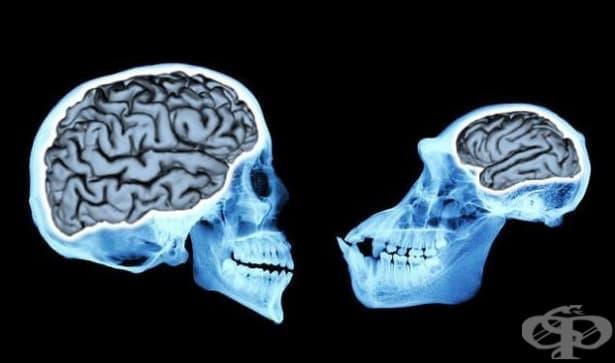 Еволюция на човешкия мозък: тройно увеличаване на обема му за 3 милиона години  - изображение