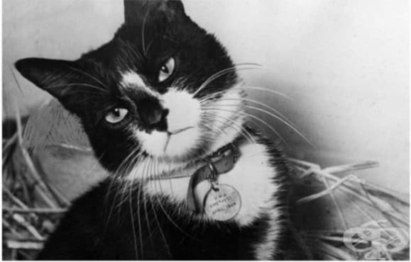 Котаракът Саймън, който получава три медала за военни постижения - изображение