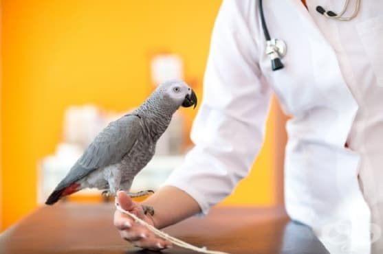 Лекар прелива папагалска кръв на пациент заради телефонни смущения - изображение