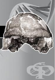 Хомо цепранензис като част от човешката еволюция - изображение
