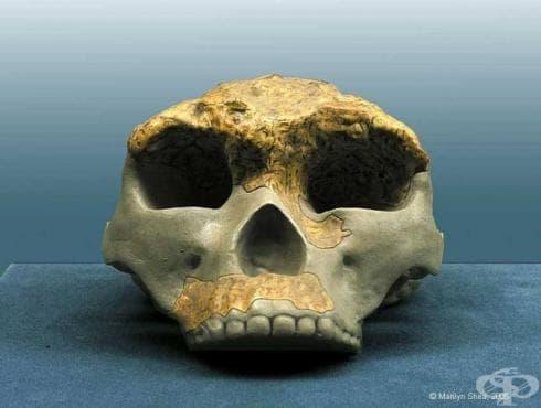 Хомо еректус солоенсис като част от еволюцията на хората - изображение