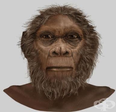 Хомо рудолфензис като част от еволюцията на хората - изображение