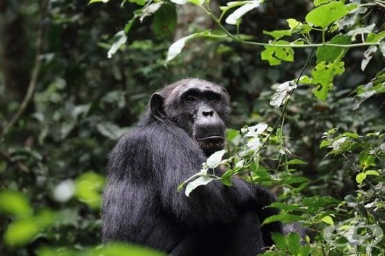 Иля Иванов и неговият ужасяващ опит да създаде хибрид между човек и шимпанзе - изображение