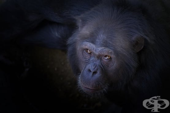 Иновативният подход на д-р Серж Вороноф за подмладяване с тъкан от маймуна  - изображение