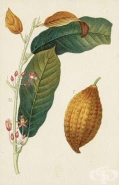 История на какаото в медицинската наука  - изображение