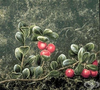 История на мечото грозде - изображение