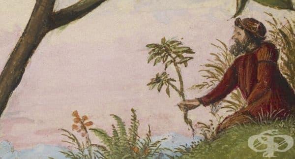 """Издание на """"De Materia Medica"""", датиращо от периода между 1564 г. и 1584 г. - изображение"""