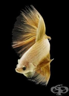 Клинични аспекти на синдрома на рибната миризма - изображение