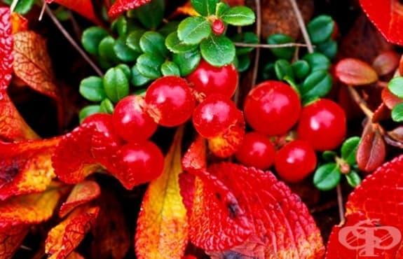 Клинични изследвания, описващи безвредността от мечото грозде, доказало се като отлично антибактериално средство срещу урологични инфекции - изображение