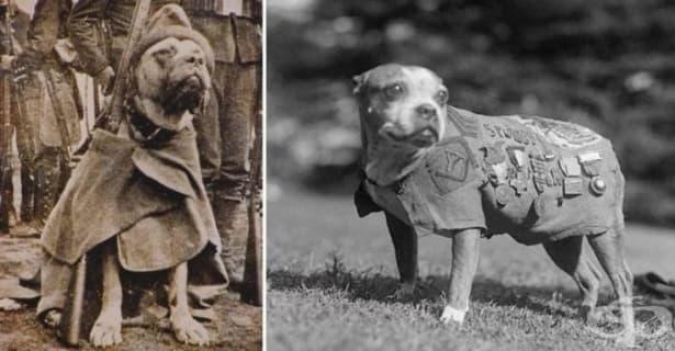 Героят Стъби: кучето, което предупреждавало за газови атаки и спасявало ранени в Първата световна война  - изображение