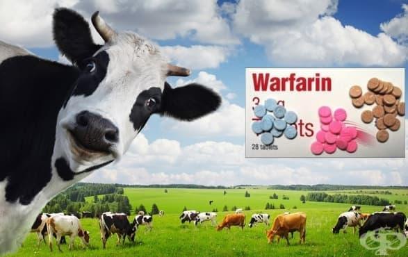 Мухлясало сено и няколко мъртви крави: как е открит антикоагулантът варфин - изображение