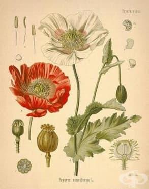 Употреба на опиумния мак като афродизиак в миналото - изображение