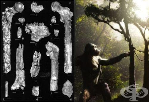 Орорин тугененсис (Orrorin tugenensis) като част от човешката еволюция - изображение