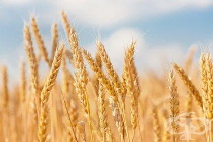 Откриване центъра на формиране  на твърдата пшеница от Николай Вавилов - изображение