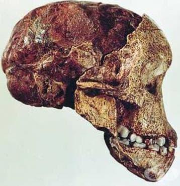 Представители на вида Australopithecus afarensis - изображение