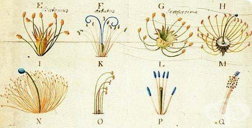 Принос на Карл Линей към историята на биологията - изображение
