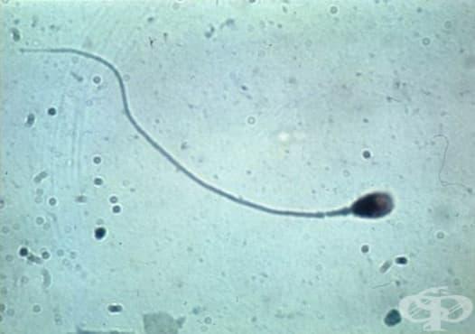 Промяна в разбирането за сперматореята от втората половина на 19-ти век - изображение