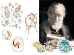 Теория на Иля Мечников за фагоцитозата - изображение