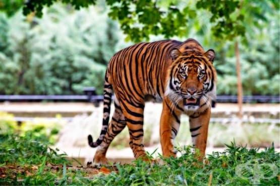 Тигрите в традиционната китайска медицина: универсалната животинска аптека, виновна за мащабното изтребление на популацията на големите раирани котки - изображение