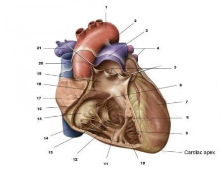 Триумф в историята на сърдечните трансплантации - изображение