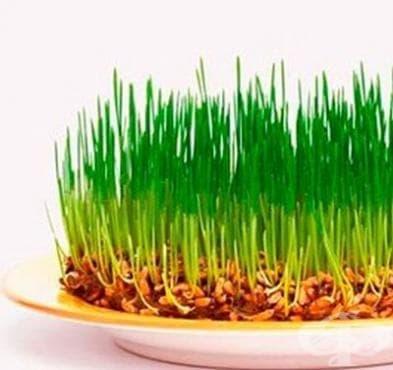 Лечебната сила на покълналите зърна. Как да отслабнем и да бъдем здрави - изображение