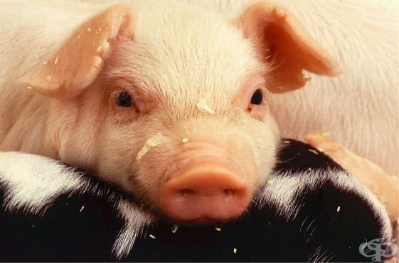 Ще повлияе ли епидемията от африканска чума на консумацията ви на свинско месо? - изображение