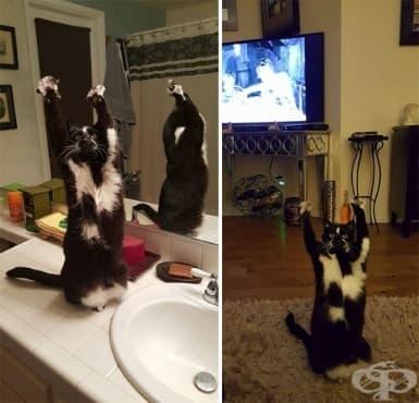 Тази котка постоянно вдига лапите си във въздуха и никой не знае защо - изображение