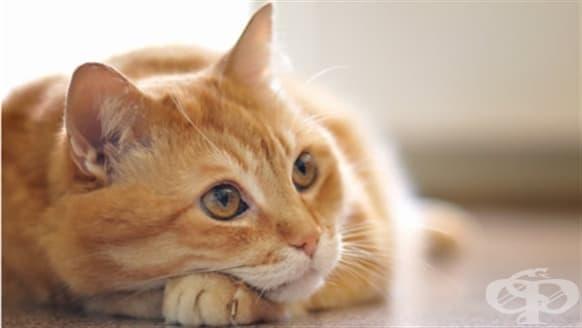 Котките може би са виновни за някои психически разстройства като шизофренията - изображение