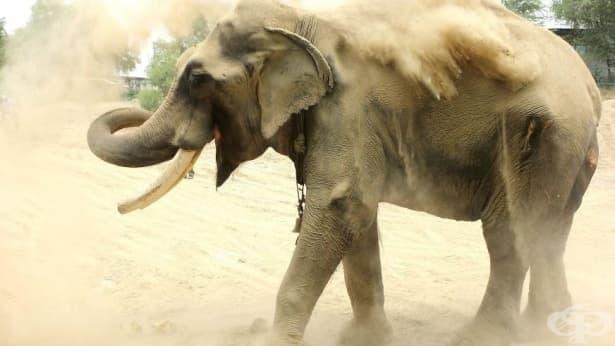 Освобождават слон, държан половин век във вериги  - изображение