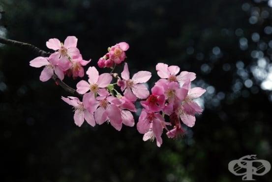 Сакура - символът на пролетта в Япония - изображение