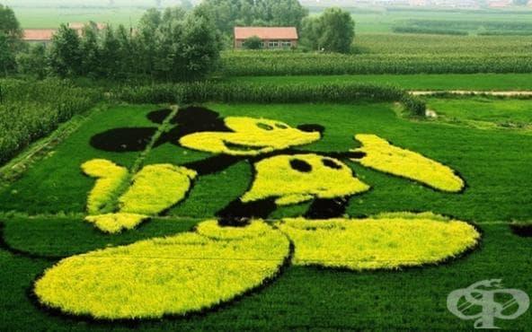 Японски град трансформира скучните оризови полета в невероятни произведения на изкуството - изображение