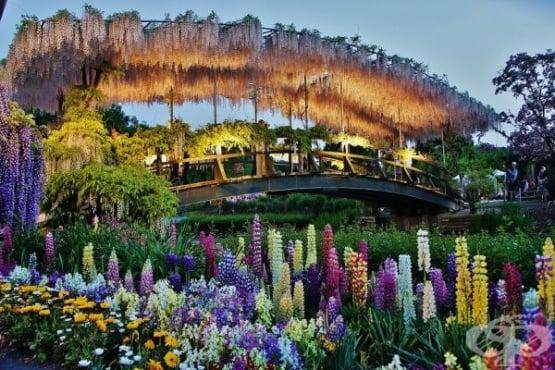 Приказният цветен тунел в Япония, парк Ашикага - изображение