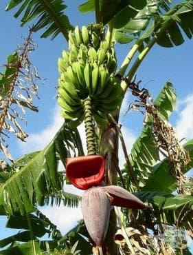 Любопитни факти за даровете от природата: банани, диня, маслини, авокадо, дуриан, манго, фурми, папая, слива, грейпфрут, нар, кокос, ананас, портокал - изображение