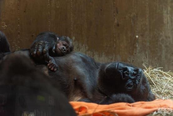 Първото бебе горила, което се е родило в зоопарк от 9 години насам - изображение