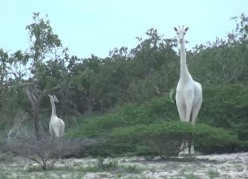 Бебе и майка бели жирафи са забелязани в Кения - изображение