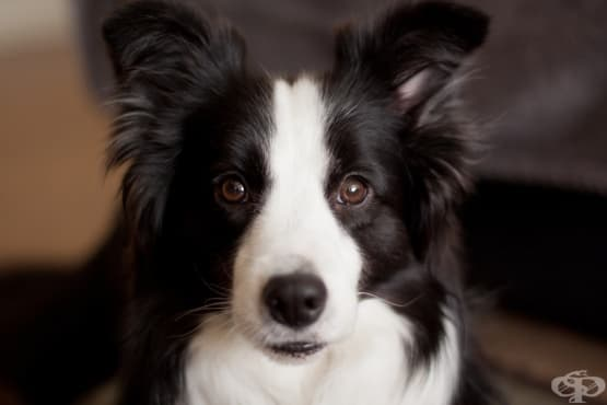 Най-умните породи кучета - изображение