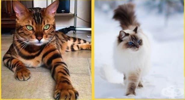 19 невероятни породи котки, струващи цяло състояние - изображение